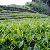 Mariko-Tea-Plantation-theeplantage-thee-najaar