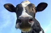 milieudefensie koe