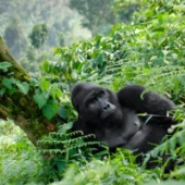 Gorilla Oost-Afrika