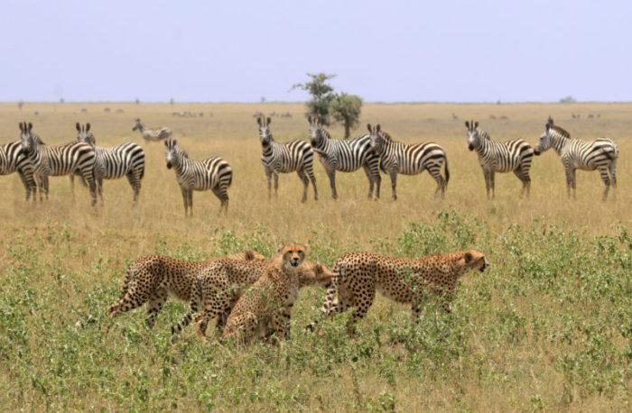 Afrika safari cheeta zebra