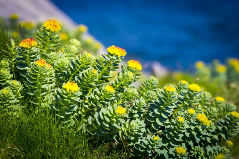 Rhodiola rosea vitamines per post